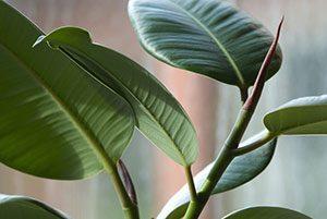 Gummi er en vedvarende ressource høstet fra gummitræet, som umiddelbart kan betragtes som en bæredygtig afgrøde.